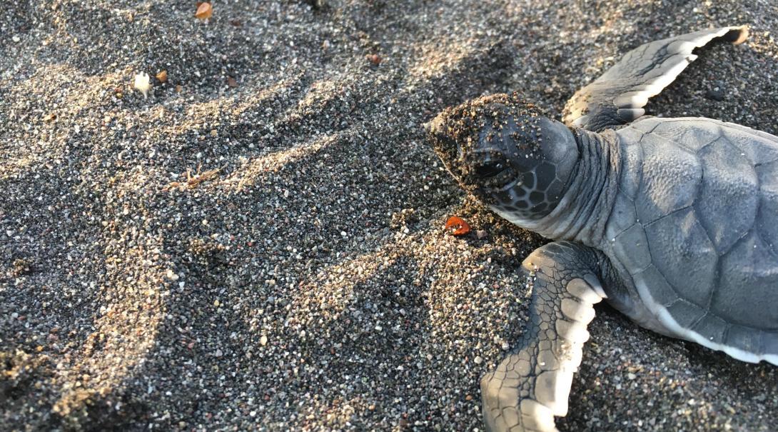 Tortuga marina bebé corriendo hacia el mar.